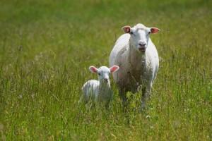 20150710子羊ななちゃん